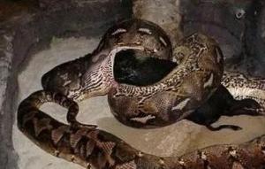 梦见大蟒蛇