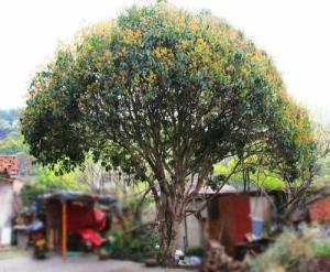 门前种桂花树的禁忌有哪些?门前种什么树风水好?